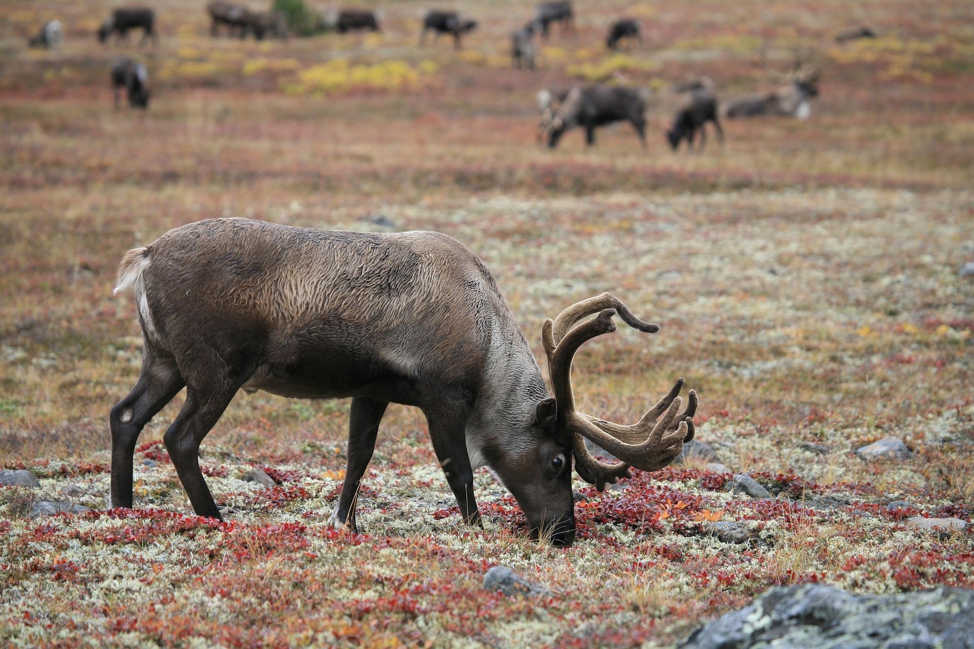 Isländisch Moos - nicht nur was für Rentiere