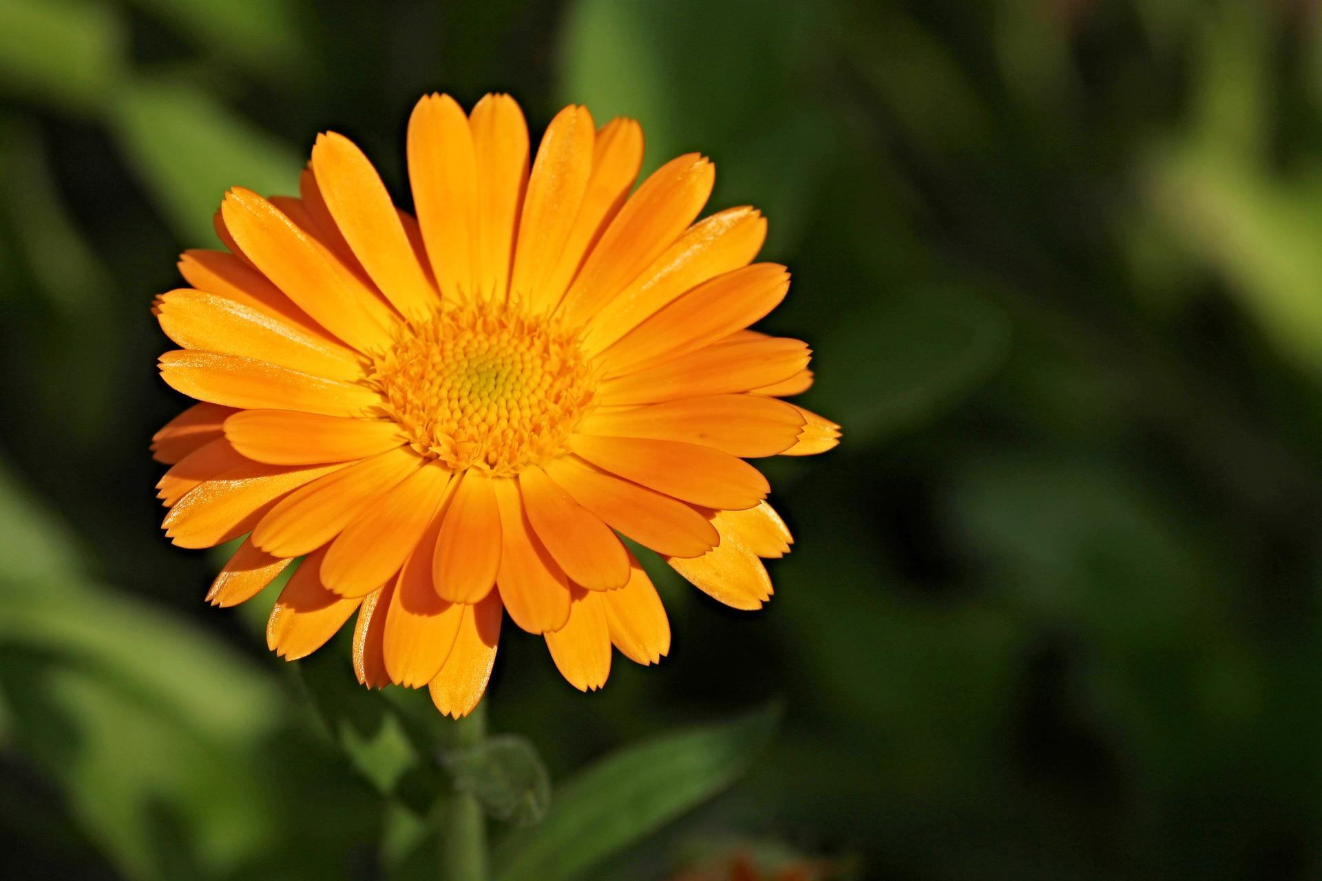 Ringelblume - die therapeutische Wetterstation