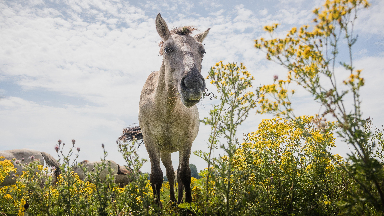 Jakobskreuzkraut - das gelbe Gift